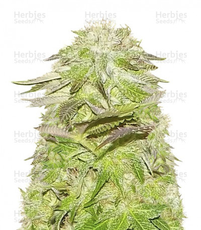 Buy White Widow feminized seeds (Pyramid Seeds)