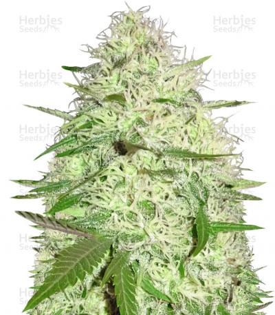 Buy Silver Buddha Haze feminized seeds