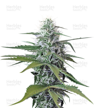 Buy Blue Mystic Regular seeds