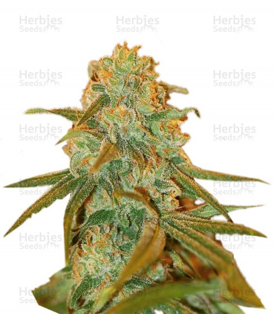 Buy Lemon Skunk feminized seeds