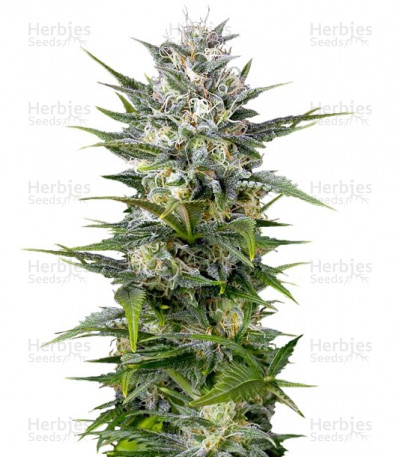 Buy Pineapple Skunk Regular seeds