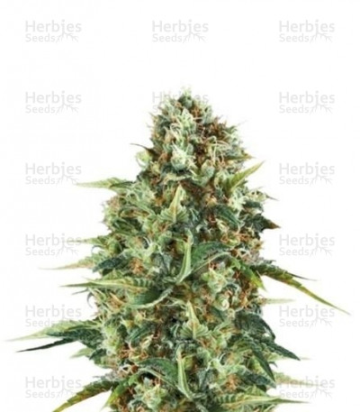Buy Royal AK feminized seeds