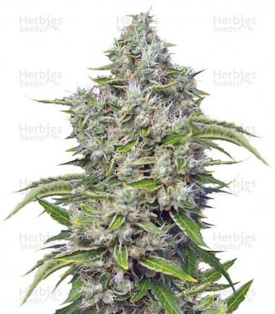Buy San Fernando Lemon Kush feminized seeds