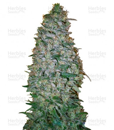 Buy California Dream feminized seeds