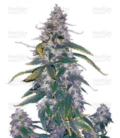 Buy Morning Glory feminized seeds