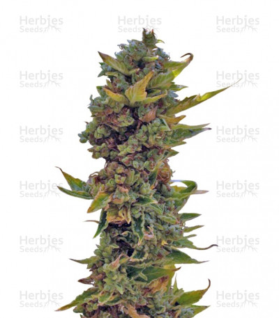 Buy Northern Delights Auto feminized seeds