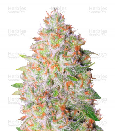 Buy Auto Green Wild Shark (Auto Great White Shark) feminized seeds