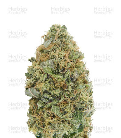 Buy Auto Torpedo feminized seeds