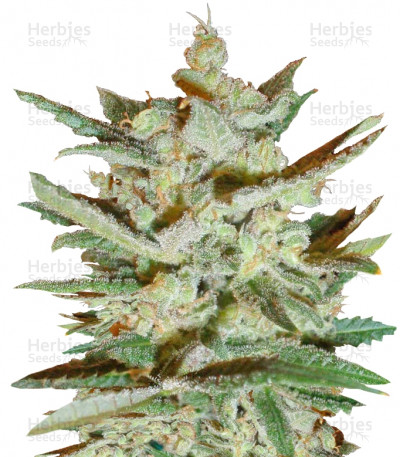 Buy Supersonic Cristal Storm auto feminized seeds