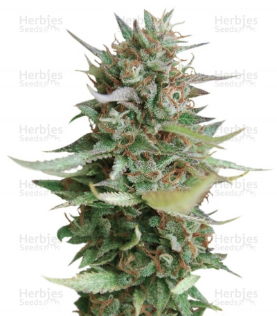 Buy Strawberry Blue feminized seeds