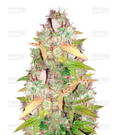 Buy NY Diesel feminized seeds (Vision Seeds)