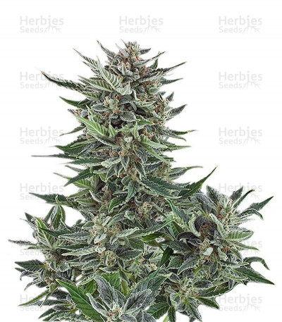 Buy Easy Bud Auto feminized seeds