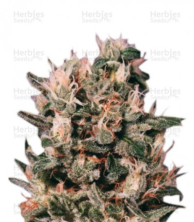 Buy Euforia Regular seeds