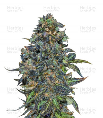 Buy Taison Auto feminized seeds