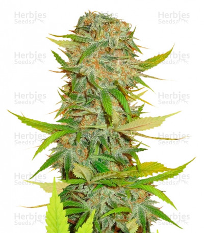 Buy Aurora Indica regular seeds