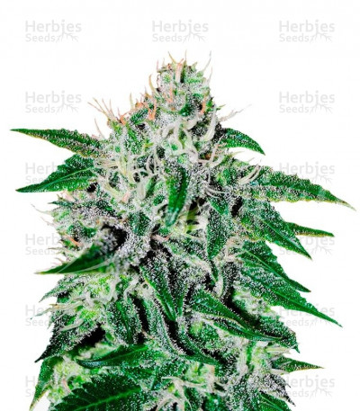 Buy Critical Jack Herer feminized seeds