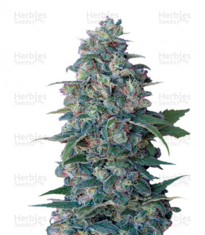 Buy Hashberry Regular