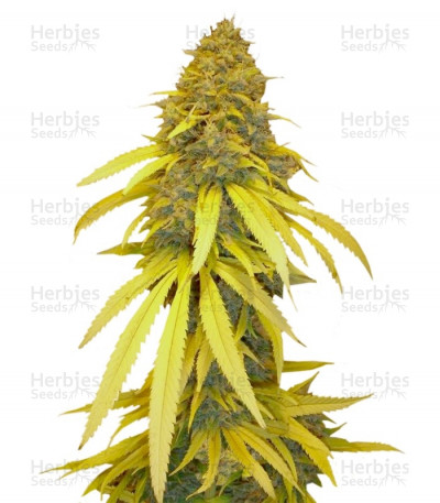 Buy Vanilla Kush feminized seeds