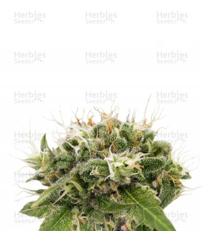 Buy Original Strawberry Cough feminized seeds
