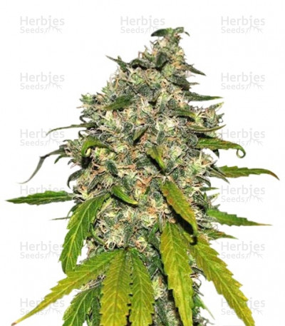 Buy AK-48 Automatic feminized seeds