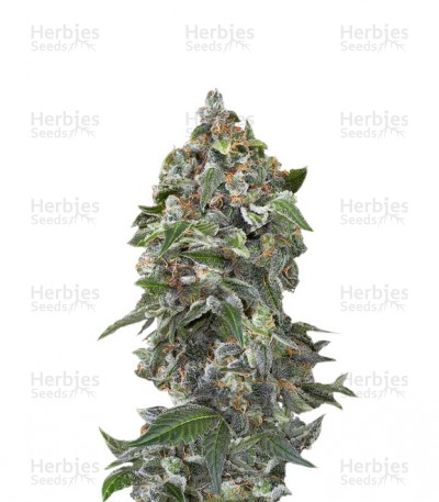 Buy White Cheese Autoflowering feminized seeds