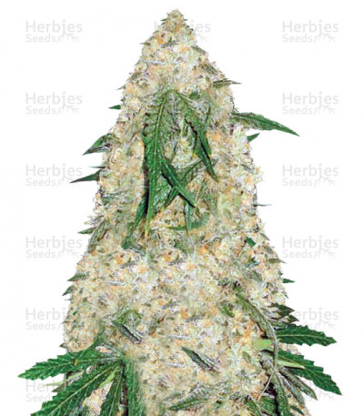 Buy Bubblegum Pro feminized seeds