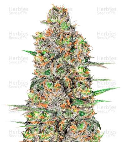 Buy Green Love Potion feminized seeds