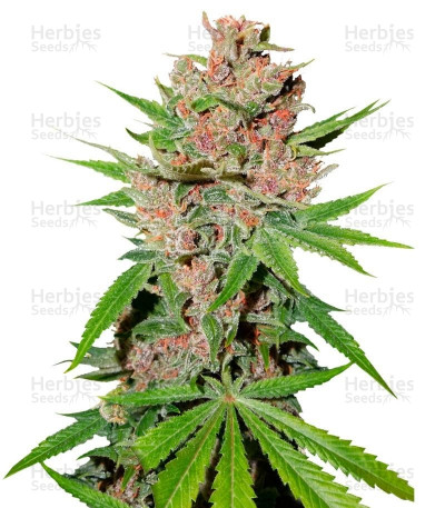 Buy Passion Fruit feminized seeds