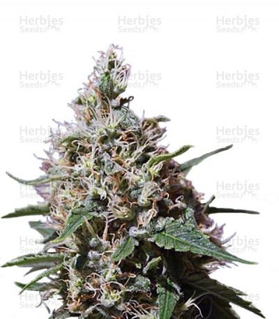 Buy Peppermint Kush feminized seeds