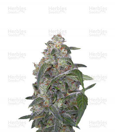 Buy Haze 2.0 Autoflowering feminized seeds