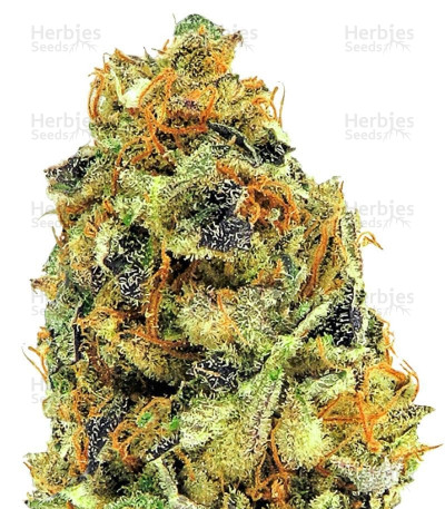 Buy K.O. Kush feminized seeds