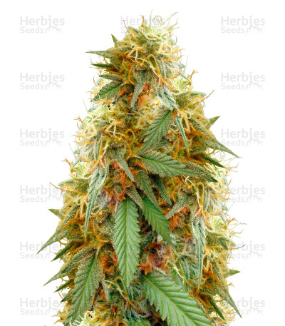 Buy Medical 49 CBD feminized seeds