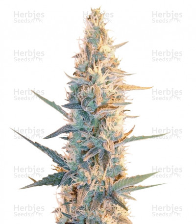 Buy Outdoor Grapefruit feminized seeds