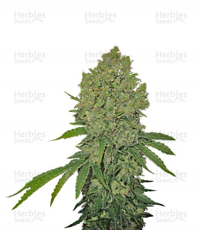 Buy Prozack feminized seeds