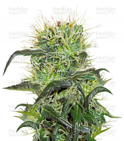Buy Bad Azz Kush feminized seeds