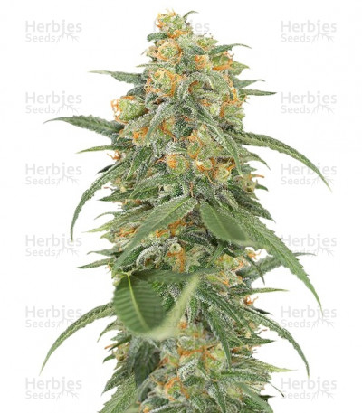 Buy Green Crack feminized seeds