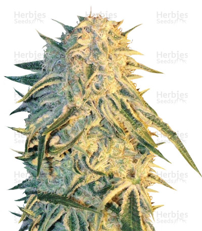 Buy ICE feminized seeds