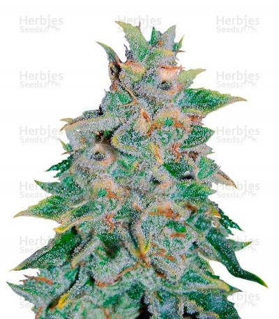 Buy Northern Light Blue Auto feminized seeds