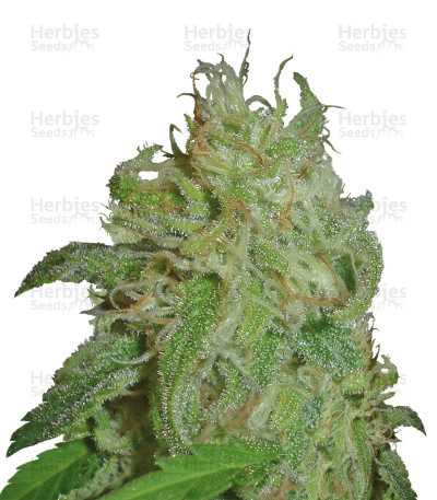 Buy Sweet Black Angel feminized seeds by Samsara Seeds
