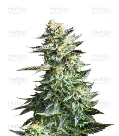 Buy Amnesia Haze feminized seeds (Royal Queen Seeds)