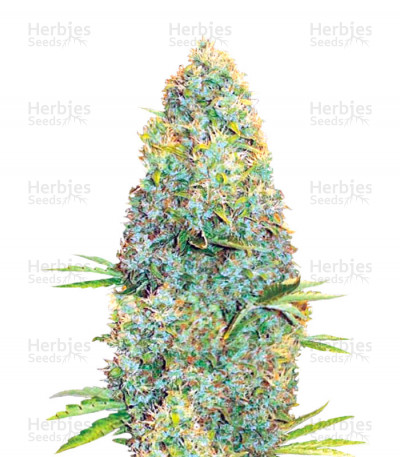 Buy Amnesia Haze feminized seeds
