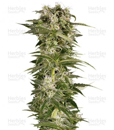 Buy Lemon Juice Express Auto feminized seeds