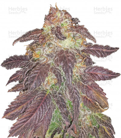 Buy Spicy White Devil feminized seeds