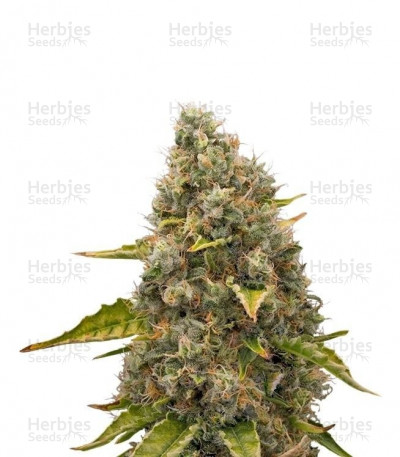 Buy White Widow feminized seeds