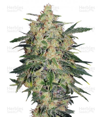 Buy Nebula II CBD feminized seeds