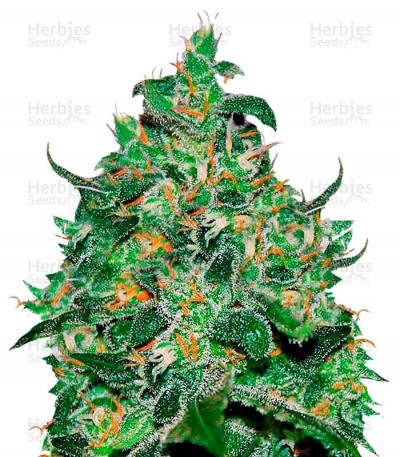 Buy Critical Jack Herer Auto feminized seeds