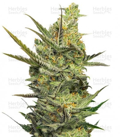 Buy Gipsy Haze feminized seeds