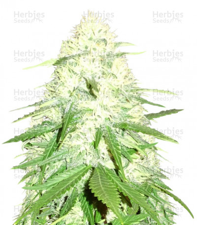 Buy Green Mango feminized seeds