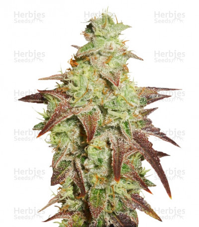 Buy Auto Night Queen feminized seeds