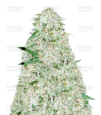 Buy Auto Super Mazar feminized seeds